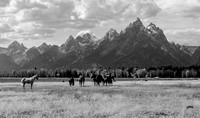 Grazing in Shadow of the Tetons